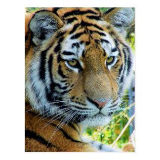 Tigre siberiano, postal del tigre de Amur
