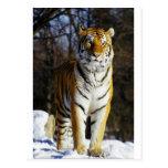 Tigre siberiano postales