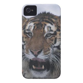 Tigre siberiano que bosteza iPhone 4 Case-Mate cárcasa