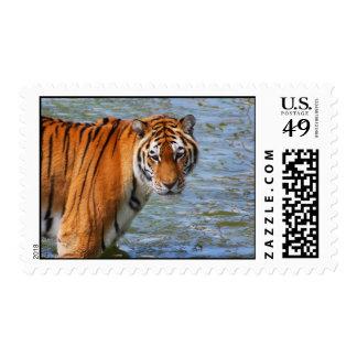 Tigre siberiano franqueo
