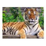 Tigre siberiano tarjeta postal