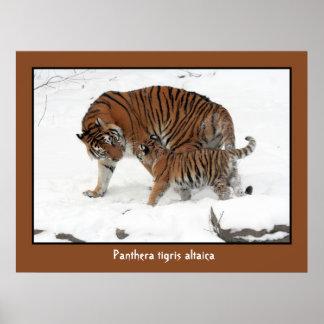 Tigre siberiano y Cub Poster