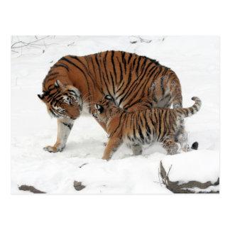 Tigre siberiano y Cub Tarjetas Postales