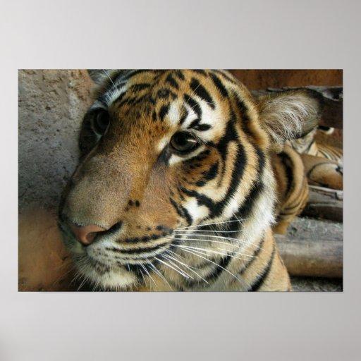 Tigre solo poster