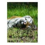 Tigre soñoliento postales