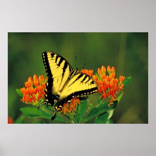Tigre Swallowtail en el poster de la mala hierba d