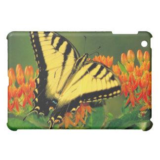 Tigre Swallowtail en mala hierba de mariposa