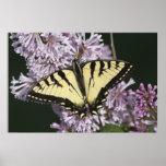 Tigre Swallowtail Posters