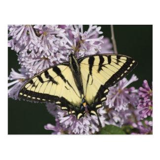 Tigre Swallowtail Postal