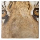 Tigre Teja