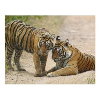 Tigre y jóvenes reales de Bengala - tocando a cont Tarjeta Postal