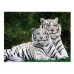 Tigres blancos hermosos postal