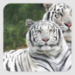 Tigres blancos pegatina cuadrada