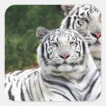 Tigres blancos pegatinas cuadradases