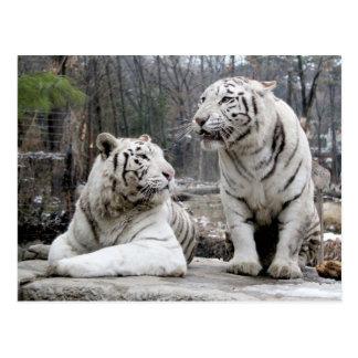 Tigres blancos postal