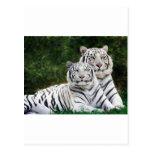 Tigres blancos tarjeta postal