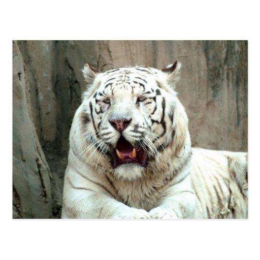 Tigres blancos tarjetas postales