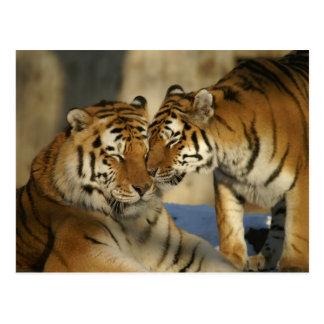 Tigres cariñosos postal