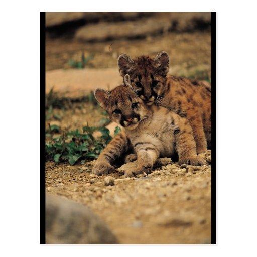 Tigres de bebé lindos postal