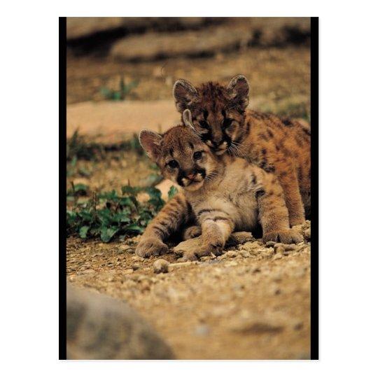 Tigres de bebé lindos postales