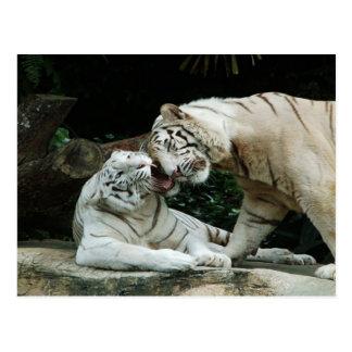 Tigres de Bengala blancos del amor y de la alegría Postal