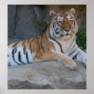 Tigres de Bengala Póster