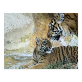 Tigres de Bengala que se relajan Postales