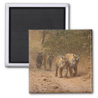 Tigres de Bengala reales en el movimiento, Rantham Imán Cuadrado
