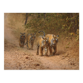 Tigres de Bengala reales en el movimiento Rantham Tarjeta Postal