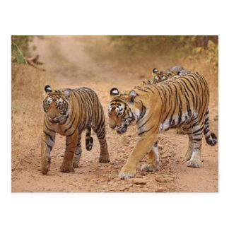 Tigres de Bengala reales en el movimiento, Tarjeta Postal