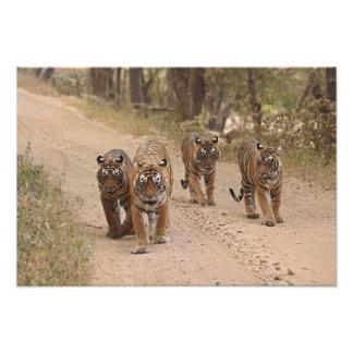 Tigres de Bengala reales en la pista, Ranthambhor  Impresión Fotográfica