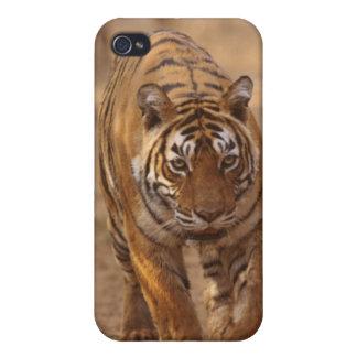 Tigres de Bengala reales en la pista, Ranthambhor iPhone 4 Cárcasas