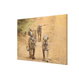 Tigres de Bengala reales en la pista, Ranthambhor Impresión En Lienzo