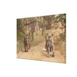 Tigres de Bengala reales en la pista, Ranthambhor  Lona Estirada Galerías