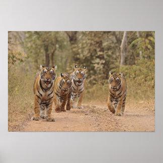 Tigres de Bengala reales en la pista, Ranthambhor  Impresiones