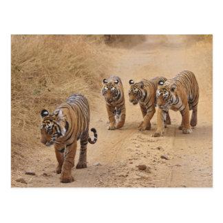 Tigres de Bengala reales en la pista, Ranthambhor Postal