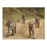 Tigres de Bengala reales en la pista, Ranthambhor  Postales