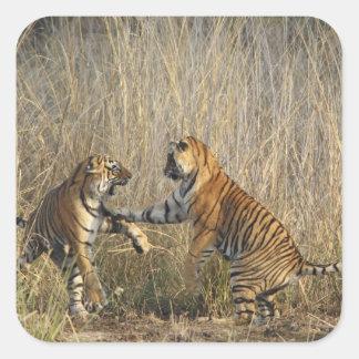 Tigres de Bengala reales juego-que luchan, Pegatina Cuadrada