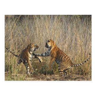 Tigres de Bengala reales juego-que luchan, Postal