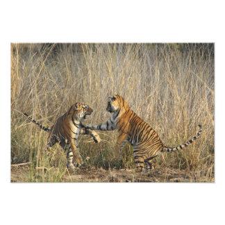 Tigres de Bengala reales juego-que luchan, Rantham Fotografía