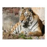 tigres del parque zoológico del animal salvaje del tarjeta postal