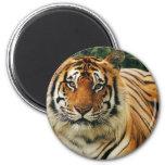 Tigres en las fotos salvajes - tarjetas, camisetas imán para frigorífico