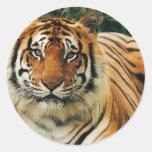 Tigres en las fotos salvajes - tarjetas, pegatina redonda