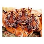 Tigres en las fotos salvajes - tarjetas, postal