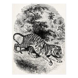 Tigres grandes del gato del juego de los 1800s del postales
