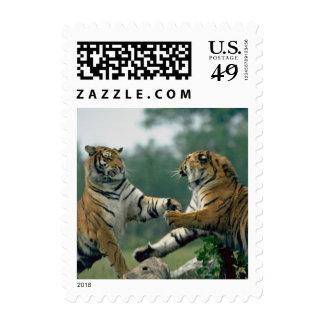 Tigres que luchan el franqueo 321