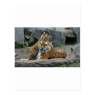 Tigresa y cachorro de tigre juguetón 1 postal
