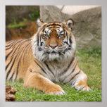 tigress10x10 posters