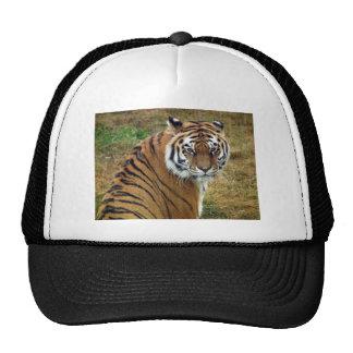 Tigress in the rain cap
