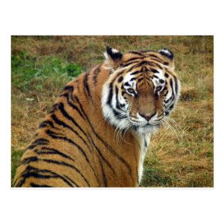Tigress in the rain postcard